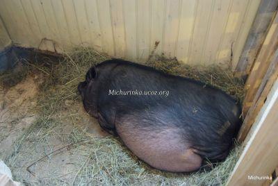 Свинья беременная во сне 76